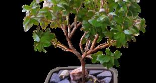 كيف يمكن عمل تقزيم لأشجار الفاكهة ؟